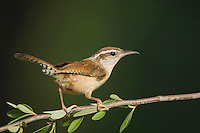 Carolina Wren, Thryothorus ludovicianus, adult, Uvalde County, Hill Country, Texas, USA