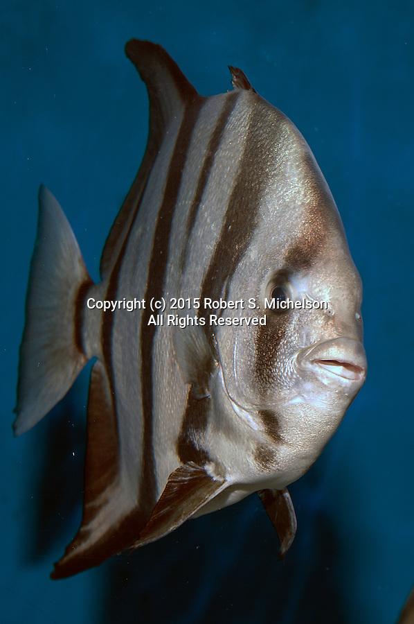 Atlantic Spadefish swimming 45 degrees to camera vertical