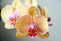 Gardening-Close up of yellow orchids