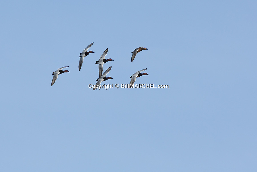 00290-005.13 Canvasback Duck flock in flight with wings against a blue sky.  Hunt, bull, diver, action, waterfowl, lake, river, wetland.  H1R1