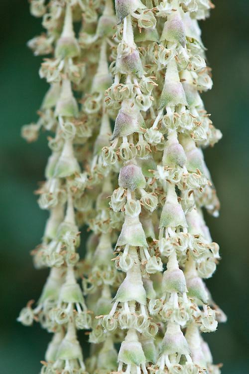 Male catkins of silk-tassel bush (Garrya elliptica 'James Roof'), late February.