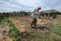 Thermon Crocker ((CQ)) of Fayetteville weeds Monday April 26, 2021 at his garden plot at Butterfield Trail Village's community garden. Residents who want to garden can get a plot of land at the site. Crocker's crop includes  tomatoes, onions, blackberries, potatoes and cabbage. Visit nwaonline.com/210427Daily/ and nwadg.com/photo. (NWA Democrat-Gazette/J.T. Wampler)