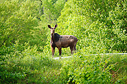 Moose on Zealand Road in the White Mountains, New Hampshire USA during the spring months