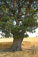 Owl box in an oak tree.
