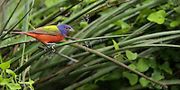 Painted Bunting male moving in/around some Hesperaloe & wild thorny vines.<br />