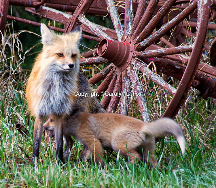 A female fox and her kit stand next to a wagon wheel.