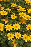 BIDENS 'BEE YELLOW CROWN', BUR-MARIGOLD