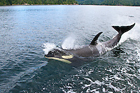 A young male Killer Whale (Orcinus orca) known as Luna cavorts alongside one of his favourite tugboats as it cruises along Nootka Sound in Britsh Columbia, Canada.  His love of people and tugboats was eventually his undoing as in early 2006 he was accidently killed by the prop of a much larger ocean going tug that was seeking shelter from a winter storm.