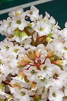 Bergenia 'Morning Light' aka 'Morgenrot' aka Morninglight, white flowers in spring