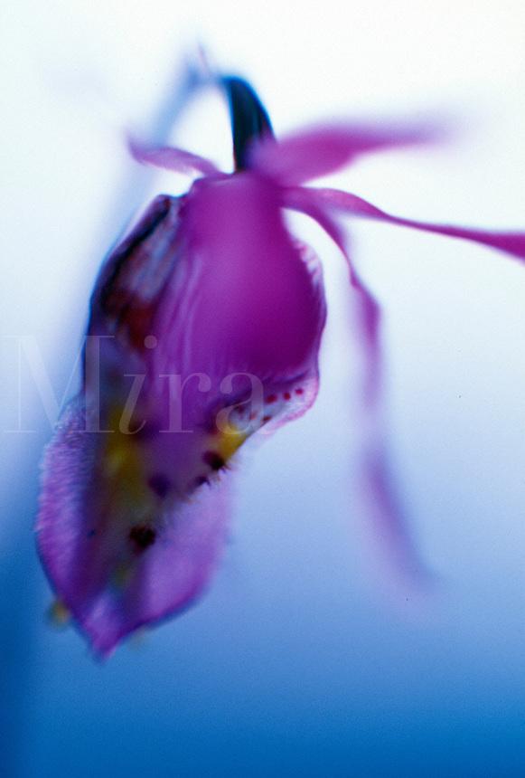Pink Fairy Slipper ( Calypso bulbosa) closeup. Pink Fairy Slipper ( Calypso bulbosa).