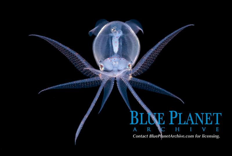 juvenile deep water diamond squid, Thysanoteuthis rhombus, photographed during a black water drift dive near the surface in waters 600 feet deep, Palm beach, Florida, USA, Atlantic Ocean