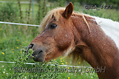 Bob, ANIMALS, REALISTISCHE TIERE, ANIMALES REALISTICOS, horses, photos+++++,GBLA4423,#a#, EVERYDAY