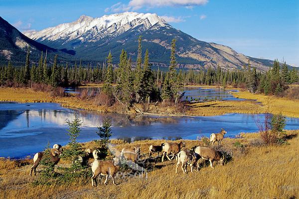 Bighorn Sheep (Ovis canadensis) herd, Canadian Rockies, fall.