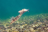 Southern calamary Squid, Sepioteuthis australis, a squid attacking a lure baited with a small fish fish. There are rows of hooks which catch on the squids arms and tentacles, Wool Bay, South Australia, Australia, Southern Ocean