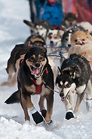 Jeff Holt's lead dogs at the Restart of the 2009 Iditarod in Willow Alaska