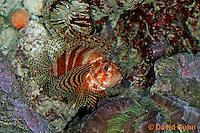 "0107-08qq  Fuzzy Dwarf Lionfish  ""Venomous Spines on Fish"" - Dendrochirus brachypterus  © David Kuhn/Dwight Kuhn Photography"