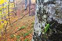 Southern Oak Bush-cricket male {Meconema meridionale}, wide angle view showing woodland habitat. Plitvice Lakes National Park, Croatia. November.