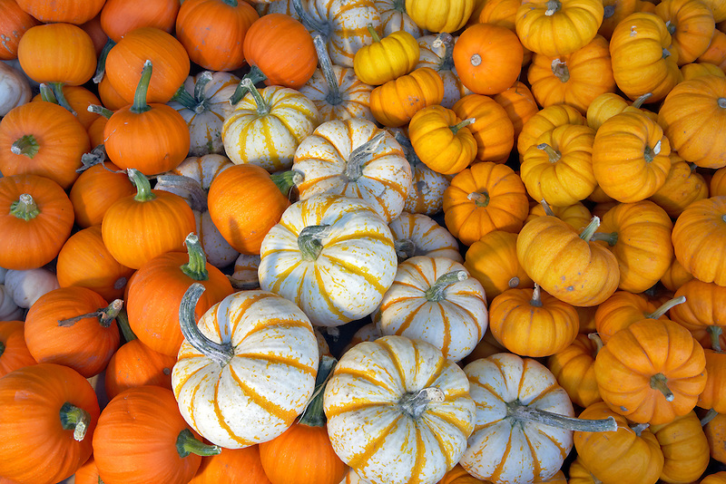 Small pumpkins from roadside stand. Near Portland. Oregon