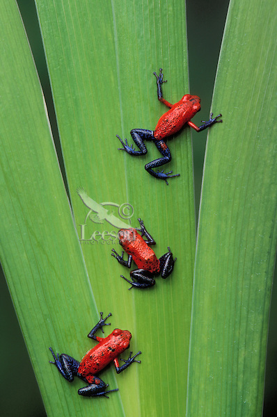 STRAWBERRY POISON FROGS..Native to Nicaragua, Costa Rica & Panama..Captive. (Dendrobates pumilio).