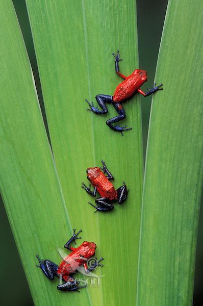 STRAWBERRY POISON FROGS..Native to Nicaragua, Costa Rica & Panama..Captive. (Dendrobates pumilio).