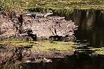 Damon, Texas; a baby American Alligator warming itself on a log, reflects in the surface of the slough in early morning sunlight
