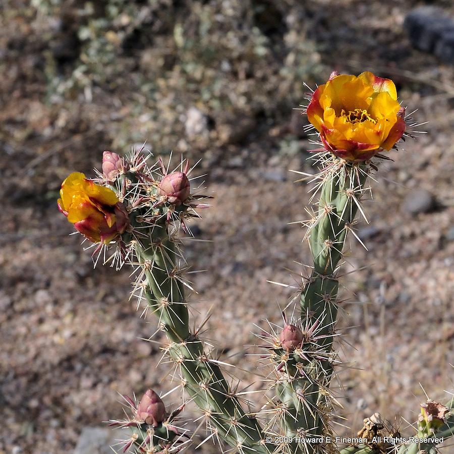 Cactus Flower 1