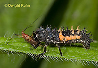 1C02-535z  Asian Ladybug Larva feeding on aphids, Harmonia axyridis