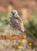 A Burrowing Owl, Athene cunicularia, perches on a nest site marker in Zanjero Park, Gilbert, Arizona