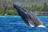 humpback whale, Megaptera novaeangliae, head-lunging, Hawaii, Pacific Ocea