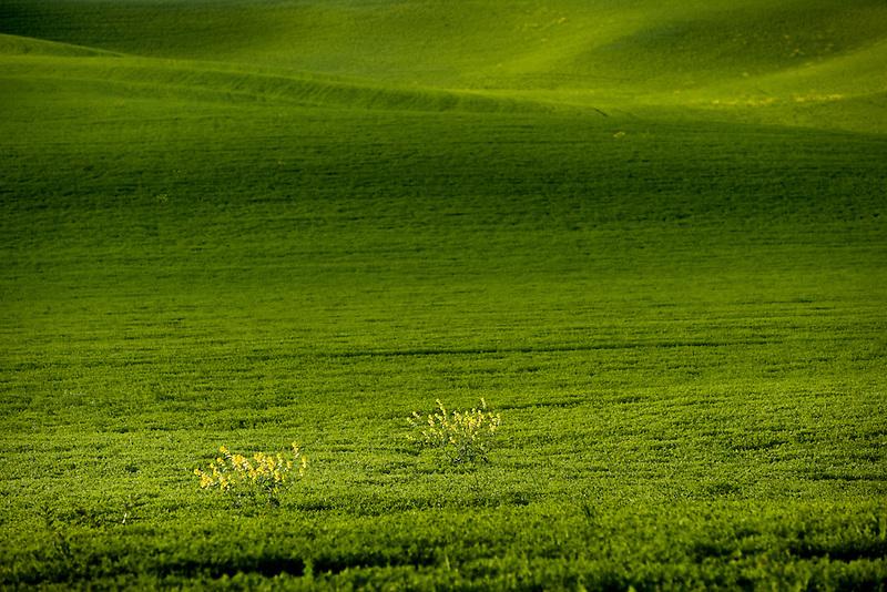 Mustard plants groing in grain field. The Palouse, Washington