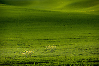 Mustard plants groing in grain field. The Palouse, Washington