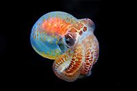 bobtail squid, Sepiola trirostrata, Father Reefs, West New Britain, Papua New Guinea, Bismark Sea, Pacific Ocean