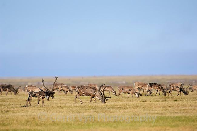 Herd of Caribou (Rangifer tarandus) in the Teshekpuk Lake Special Area. Arctic Coastal Plain, Alaska. July.