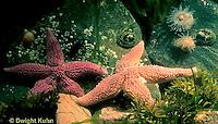 1Y35-010a  Ocean - tidepool with starfish, algae, limpets, barnacles, periwinkles, sea anemones