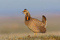 """Male greater Prairie-Chicken (Tympanachus cupido) giving a """"Whoop"""" call on a lek. """"Whoop"""" calls are generally uttered when females are present. Ft. Pierre National Grassland, South Dakota. April."""