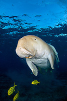 Dugong, Sea Cow, breathing on the surface, Gnathanodon Speciosus, Egypt, Red Sea, Indian Ocean