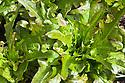 Oak-leaf lettuce 'Cocarde' syn. 'Bronze Arrow', late August.