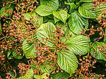 Linden Viburnum (Viburnum dilatatum) at the Arnold Arboretum in the Jamaica Plain neighborhood, Boston, Massachusetts, USA