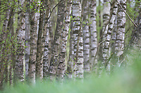 Birkenwald, Birken-Wald, Hänge-Birke, Birke, Sand-Birke, Hängebirke, Sandbirke, Weißbirke, Birkenstamm, Birkenstämme, Stamm, Stämme, Rinde, Borke, Betula pendula, European White Birch, Silver Birch, warty birch, birch, birch forest, birch grove, stem, bark, rind, Le bouleau verruqueux, bouleau blanc