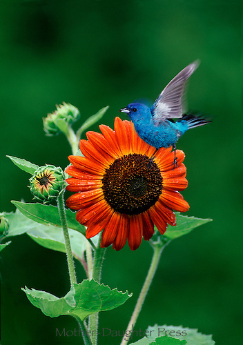 Indigo bunting in flight with blooming orange flower