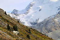 Mountain Goat (Oreamnos americanus).  Northern Rockies.  Fall.