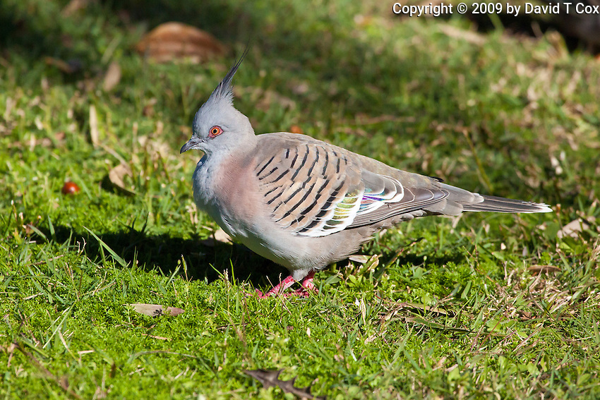 Crested Pigeon, Nelson Bay, Australia