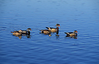 Wood Duck drakes and hens.. British Columbia, Canada..(Aix sponsa).