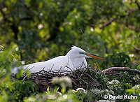 0312-0820  Great Egret Tending Eggs in Nest, Displaying Breeding Plumage, Ardea alba © David Kuhn/Dwight Kuhn Photography