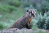 American Badger (Taxidea taxus), adult with ground squirrel prey, Yellowstone National Park, Wyoming, USA
