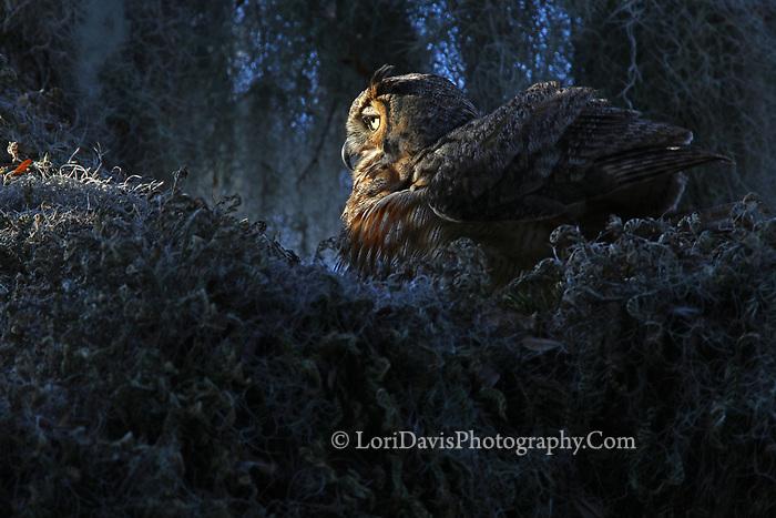 Sunrise great horned owl   #B160