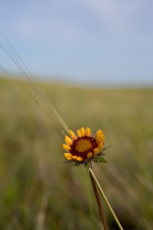 Brown-eyed Susan on the prairie