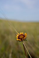 Brown-eyed Susan on the prairie