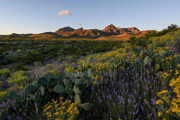 Desert in bloom, Big Bend National Park, West Texas, USA