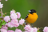 Male Baltimore Oriole or Northern Oriole (Icterus galbula) perched on flowering tree branch.  Great Lakes Region.  Spring.